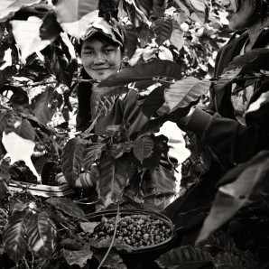 Two laborers pick coffee berries at a plantation in Paksong.