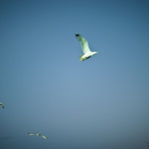 Seagulls flight over the Komarča looking for fish.