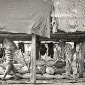 Coffee is stored under the stilt-house where farmers sleep.
